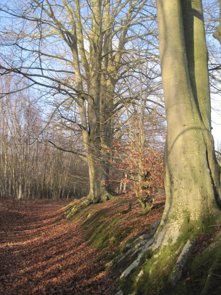 Beech trees near Roosthole, Sussex