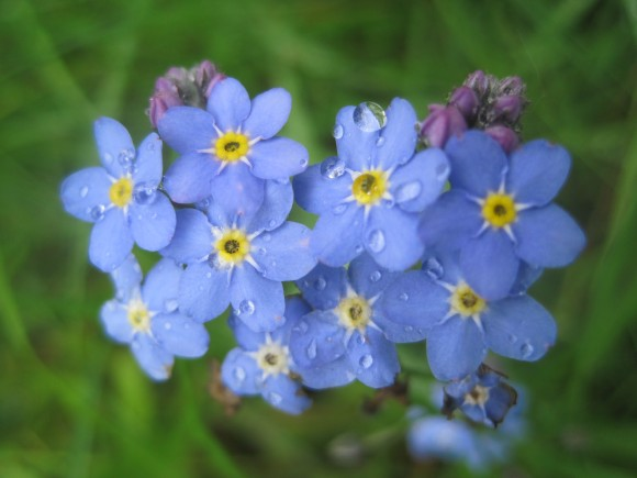 Forget-me-nots in Albury