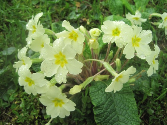 Primroses in the graveyard of St Peter's church, Albury