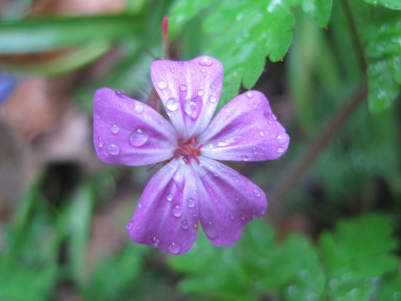 Wood cranesbill in Albury Warren