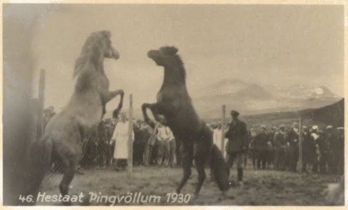 Old photo of a horse fight in Iceland, 1930