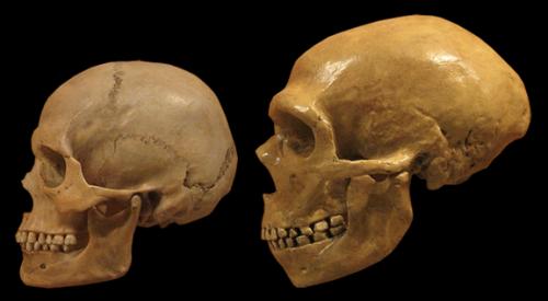 Homo sapiens (left) Homo neanderthalensis (right)